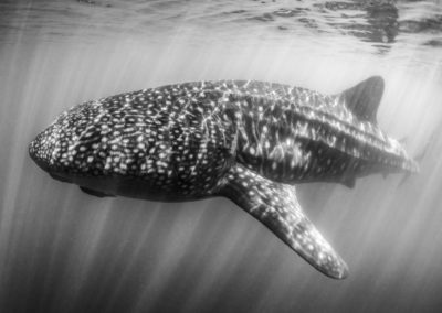 Monochrome image of Whale Shark in the Sea of Cortez
