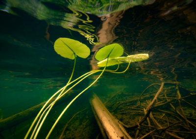 Yellow water Lily underwater