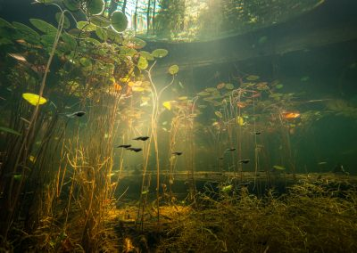 Streams of sunlight pour into a pond with tadpoles and lilies