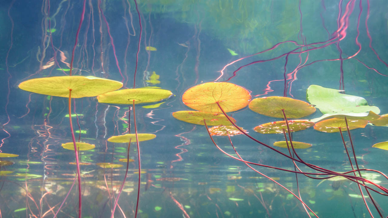 painterly underwater fine art image of lilies