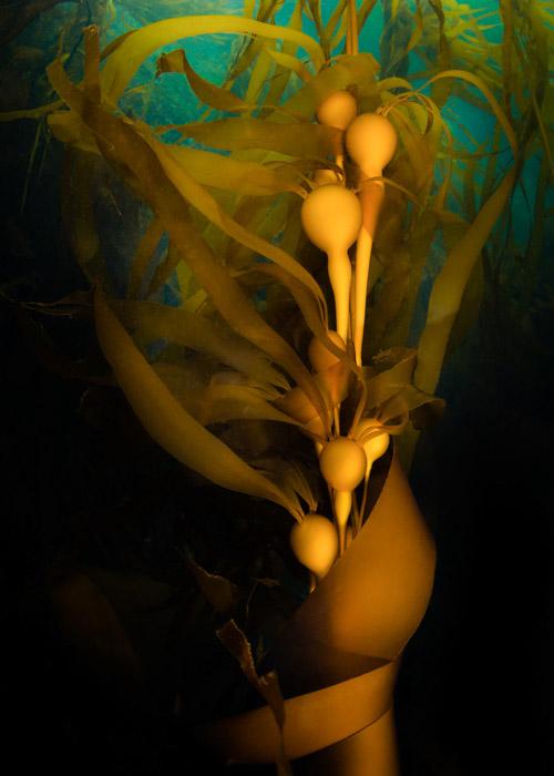 underwater kelp image