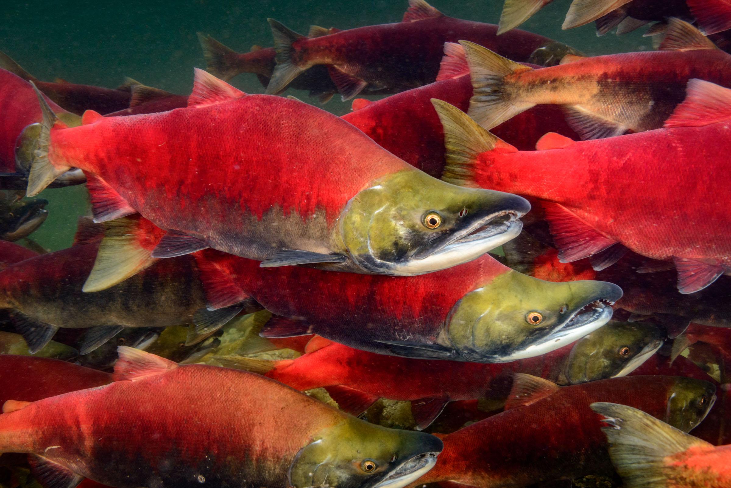 Sockeye Salmon stock images