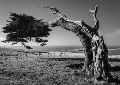 Macrocarpa Tree on the windswept hills of the Otago Peninsular