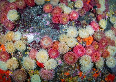Colourful Painted Anemones in British Columbia's Emerald Sea